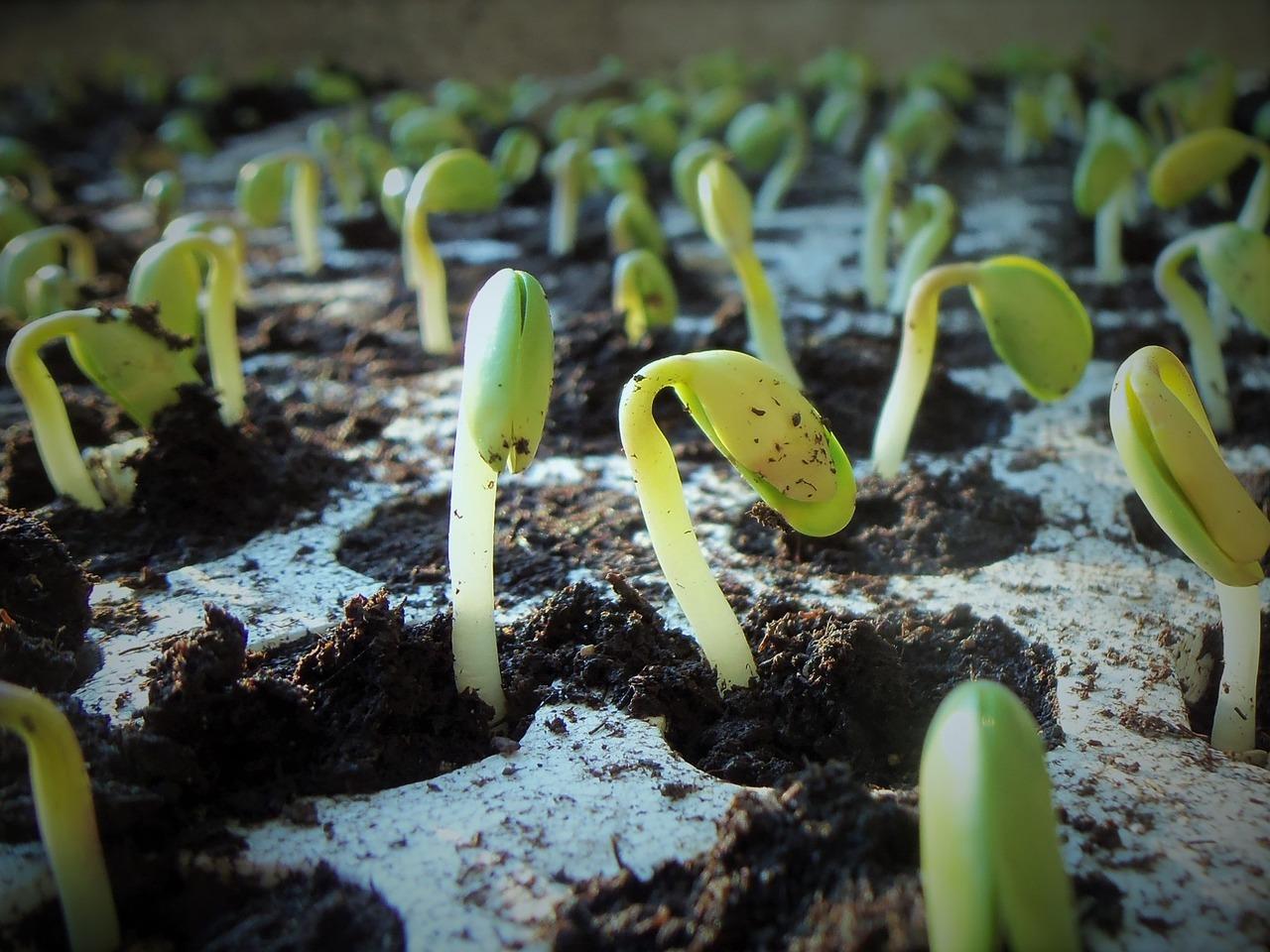 Sojapflanze